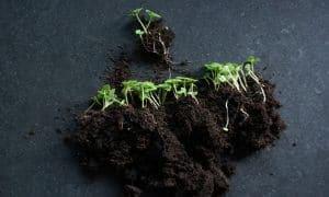 Kako prorijediti sadnice